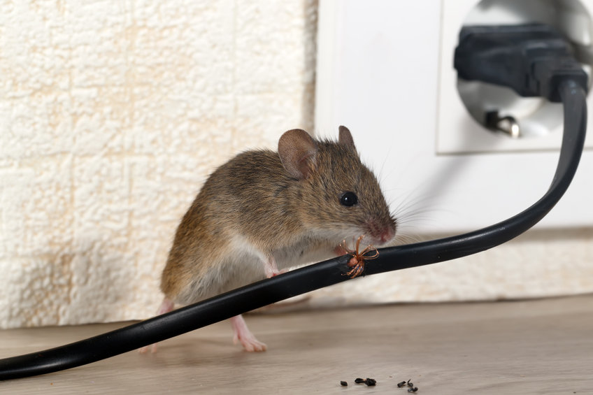The Dangers That Rodents Can Do To Your Home and How We Can Help Address Them